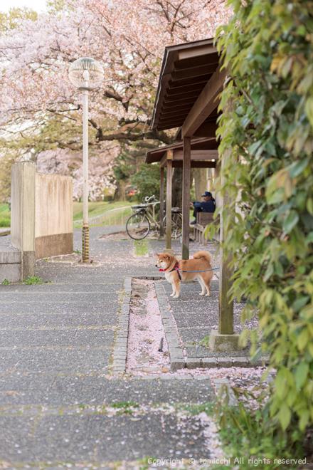 shibasakura.jpg